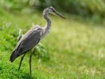 Близкий взгляд серой птицы цапли Стоковое Фото
