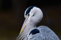 Близкий взгляд серой птицы цапли Стоковые Изображения RF
