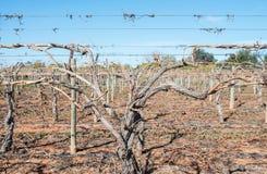 Близкий взгляд тросточек виноградной лозы на шпалере Стоковые Изображения
