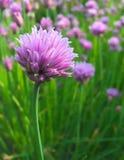 Близкий взгляд цветка Chive с мягким backgound Стоковая Фотография RF