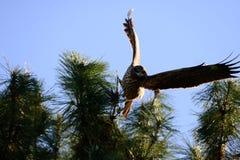 Близкий взгляд японской птицы черного змея Стоковое фото RF