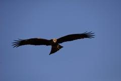 Близкий взгляд японской птицы черного змея Стоковые Изображения RF