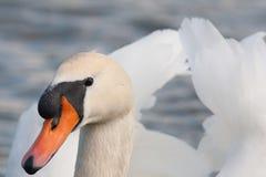 близкий лебедь вверх Стоковые Изображения RF