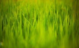 близкий зеленый рис вверх Стоковое Фото