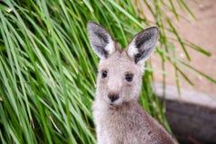 близкий кенгуру вверх стоковая фотография rf