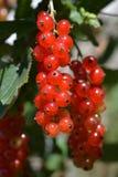 близкий красный цвет смородины вверх Стоковое Фото