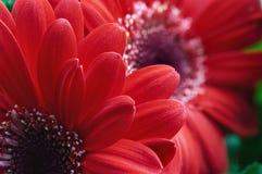 близкий красный цвет gerber цветка вверх Стоковое фото RF