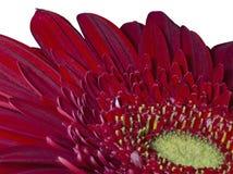 близкий красный цвет gerbera вверх Стоковое фото RF