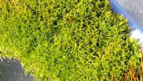 близкий мох вверх Стоковые Изображения RF