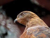близкий орел вверх Стоковое Изображение