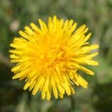 близкий одуванчик вверх по желтому цвету Стоковые Изображения RF