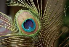 близкий павлин пера вверх Красивая и божественная птица Индии, символа богатства Стоковое фото RF