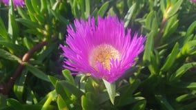 близкий пинк цветка вверх Стоковые Изображения