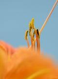 близкий помеец цветка вверх Стоковое Фото