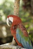 близкий попыгай macaw вверх Стоковая Фотография