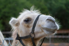 Близкий портрет верблюда в зоопарке Стоковое Фото