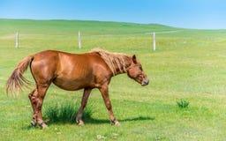 близкий подавая лужок лошади вверх Стоковая Фотография RF
