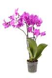 близкий пурпур орхидеи вверх Стоковые Изображения RF