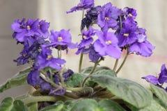 близкий пурпур цветка вверх Стоковая Фотография