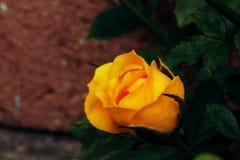 близкий розовый поднимающий вверх желтый цвет стоковое изображение