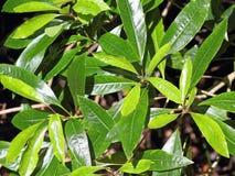 Близкий снимок листьев Persea indica в лесе лавра на Made Стоковые Фото