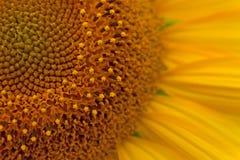 близкий солнцецвет вверх яркий желтый цвет солнцецветов Backgrou солнцецвета Стоковая Фотография RF
