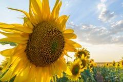 близкий солнцецвет вверх стоковые изображения