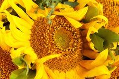 близкий солнцецвет вверх Стоковая Фотография RF