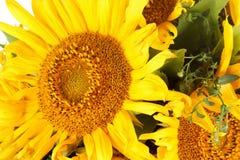 близкий солнцецвет вверх Стоковое Изображение RF