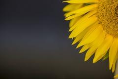близкий солнцецвет Венгрии поля вверх Стоковые Фото