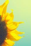 близкий солнцецвет Венгрии поля вверх Стоковое Изображение RF