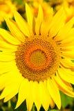 близкий солнцецвет Венгрии поля вверх Стоковая Фотография RF