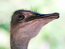 близкий страус вверх Стоковое Изображение