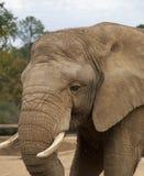 близкий слон вверх Стоковые Изображения RF