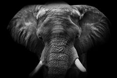 близкий слон вверх Стоковые Фотографии RF