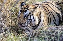 близкий тигр вверх Стоковое фото RF