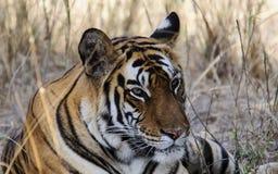 близкий тигр вверх Стоковые Фотографии RF