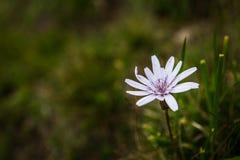 близкий цветок вверх по белизне Стоковая Фотография