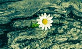 близкий цветок маргаритки вверх Стоковое фото RF