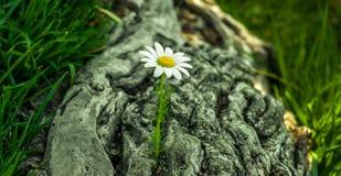 близкий цветок маргаритки вверх Стоковая Фотография RF