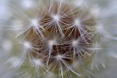 близкий цветок одуванчика вверх Стоковые Изображения