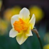 близкий daffodil вверх стоковая фотография