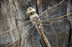 близкий dragonfly вверх Стоковая Фотография RF
