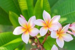 близкий frangipani вверх Стоковое Фото
