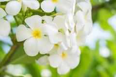 близкий frangipani вверх Стоковое фото RF
