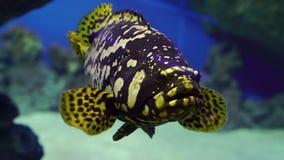 близкий grouper рыб вверх сток-видео