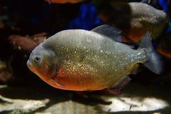 близкий piranha рыб вверх Стоковая Фотография