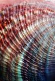близкий seashell вверх Стоковые Изображения RF