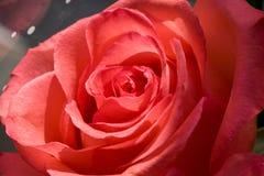 близкое красное розовое поднимающее вверх Стоковое фото RF