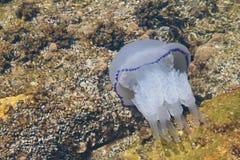 близкое море медуз вверх стоковые изображения rf